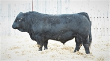 KTHREE IMPACT 9E - KTR 9E Purebred Herdsire