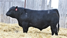 KTHREE 5F 2020 Halfblood Sale Bull